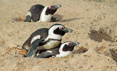 African penguins nesting in sand