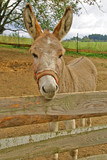 Brown donkey behind a fence on the farm
