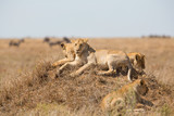 Lions pride rests in Serengeti