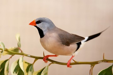 Grassfinch Bird