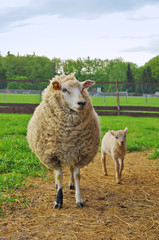Sheep and lamb on the pasture
