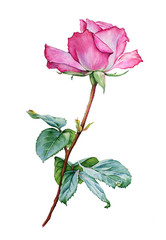 Watercolor with a Rose