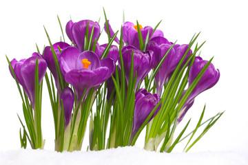 Der Frühling kommt mit Krokussen