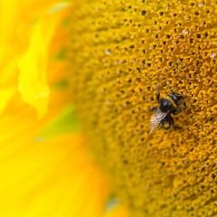 Hummel auf Sonnenblume / bumblebee on sunflower