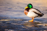 Wild Mallard ducks sitting in lake ice.