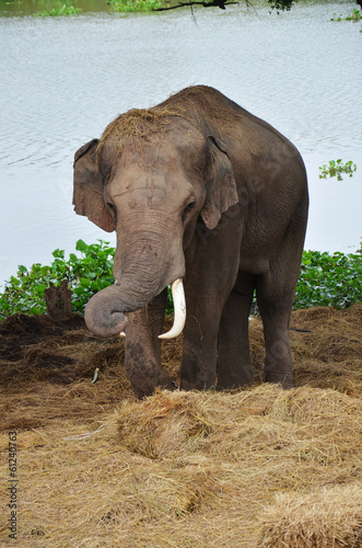 Thai Elephants at Ayutthaya Elephant Camp Thailand
