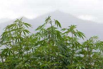 Marijuana foliage background