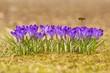 Obrazy na płótnie, fototapety, zdjęcia, fotoobrazy drukowane : Honeybee (Apis mellifera), bee flying over the crocuses