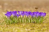 Honeybee (Apis mellifera), bee flying over the crocuses