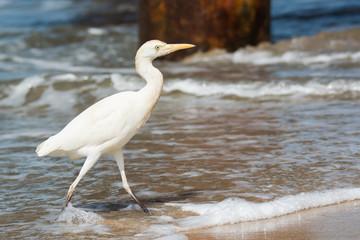 Cattle Egret walking through the surf