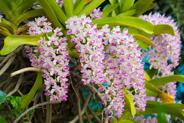 orchid (Rhynchostylis) of thailand,tropical flower