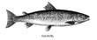 salmon - 61243992