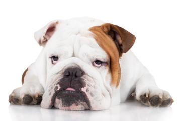 sad english bulldog dog