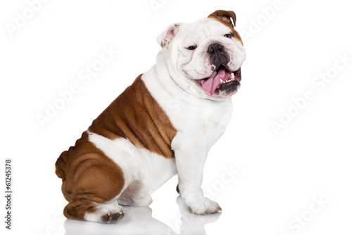 cheerful english bulldog