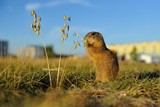 European ground squirrel close to city