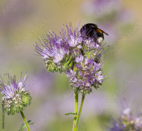Bumblebee on the phacelia flower