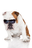 funny english bulldog in sunglasses