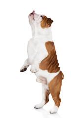 english bulldog dancing
