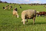 flock of sheep grazing in a green pasture