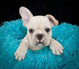A sweet Frenchy Puppy
