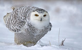 Leaning Snowy Owl