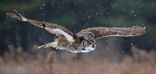 Gliding Great Horned Owl