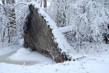 ontwortelde populier in natuurgebied in winter