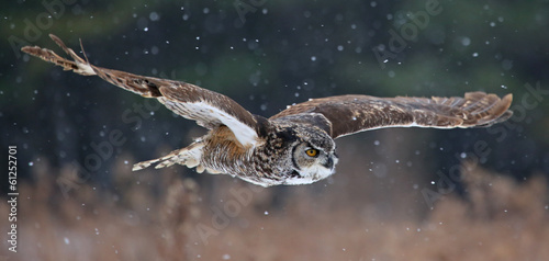 Foto op Plexiglas Uil Gliding Great Horned Owl