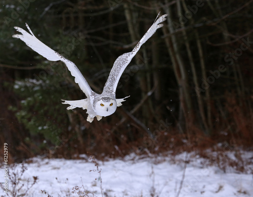 Papiers peints Chouette Snowy Owl (Bubo scandiacus)