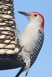 Woodpecker on a Peanut Feeder