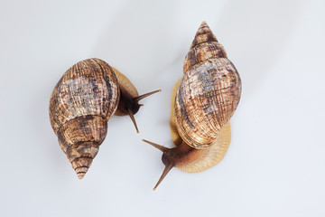 Studio shot of two grape snails