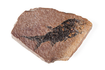 Fossil with fish imprint
