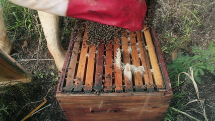 Beekeeper brushing bees off lid and into hive