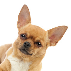 Chihuahua dog isolated on white background.