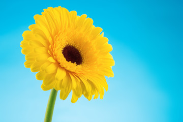 Yellow gerbera daisy flower on blue background