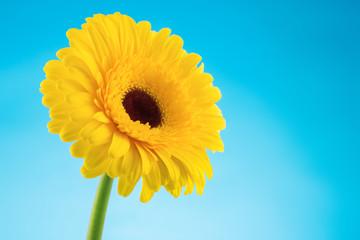 Yellow gerbera daisy flower on blue background