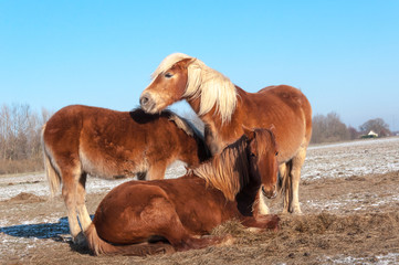 Three brown horses in winter