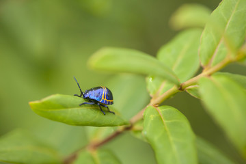 blue bug, colorful beatle bug in Chiengmai forest, Thailand