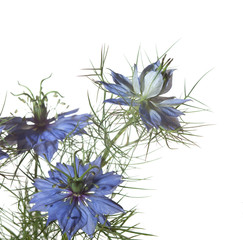 Nigella damascena flowers isolated on white