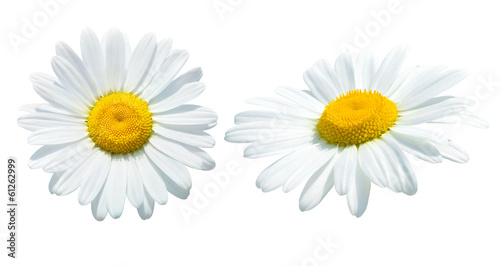 Tuinposter Madeliefjes Camomile isolated on white background