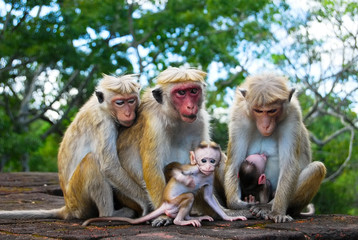 monkey family at Sigiriya, Sri Lanka