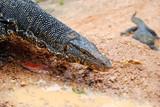 Varanus salvator close up outdoor, Sri Lanka poster