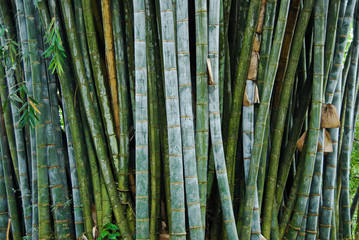 giant bamboo in the Royal Botanical Gardens, Kandy, Sri Lanka
