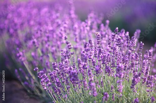 Lavender flowers - 61266310