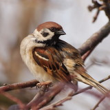 Sparrow on branch, tree sparrow, passer montanus