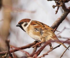 Sparrow on branch, tree sparrow, passer montanus