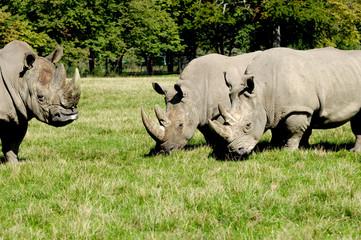 Group of rhino