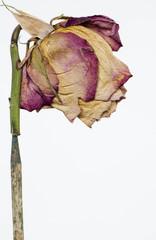 Rosa sfiorita