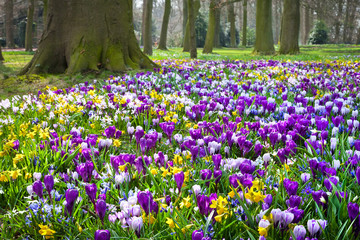 Crocuses and narcissus in the park.