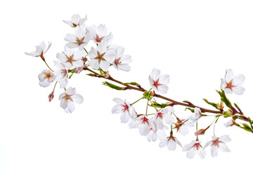 A branch of a cherry on a white background.